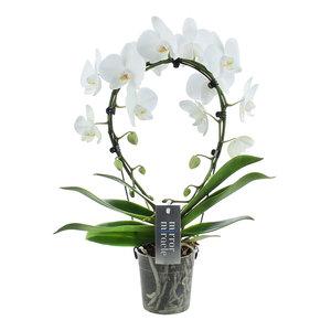 """Orchidee """"Mirror Miracle Aurora"""""""