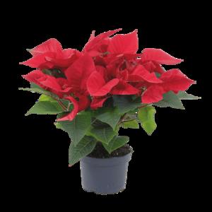 Kerstster Rood (55 cm)