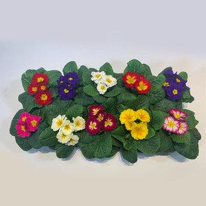 Sleutelbloemen (Primula) (bakje van 10 bloemen)